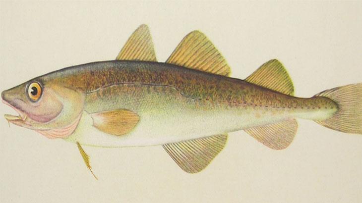 Навага, рыба семейства тресковых
